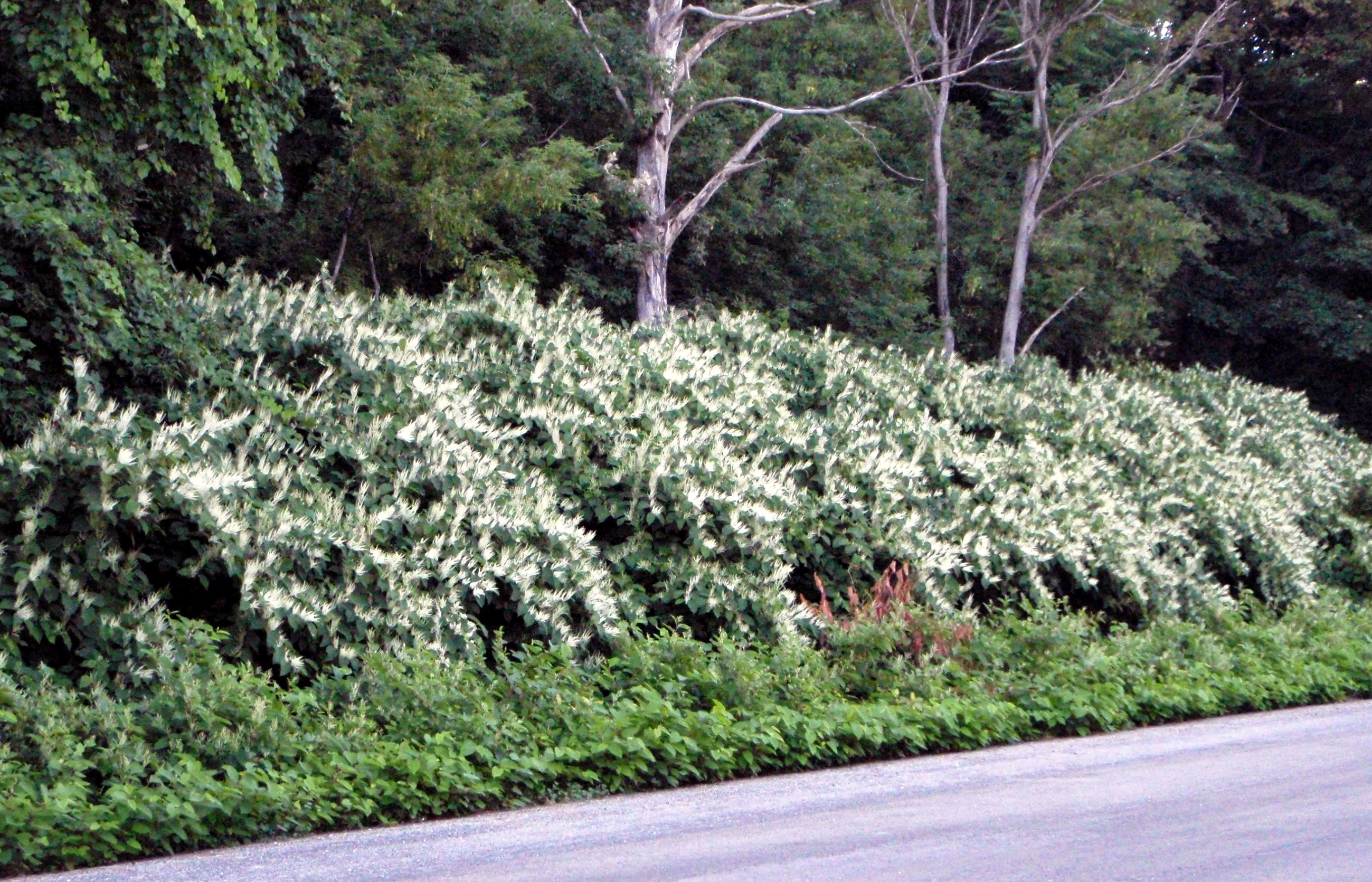 Japanese knotweed, mound at High Cliff.JPG