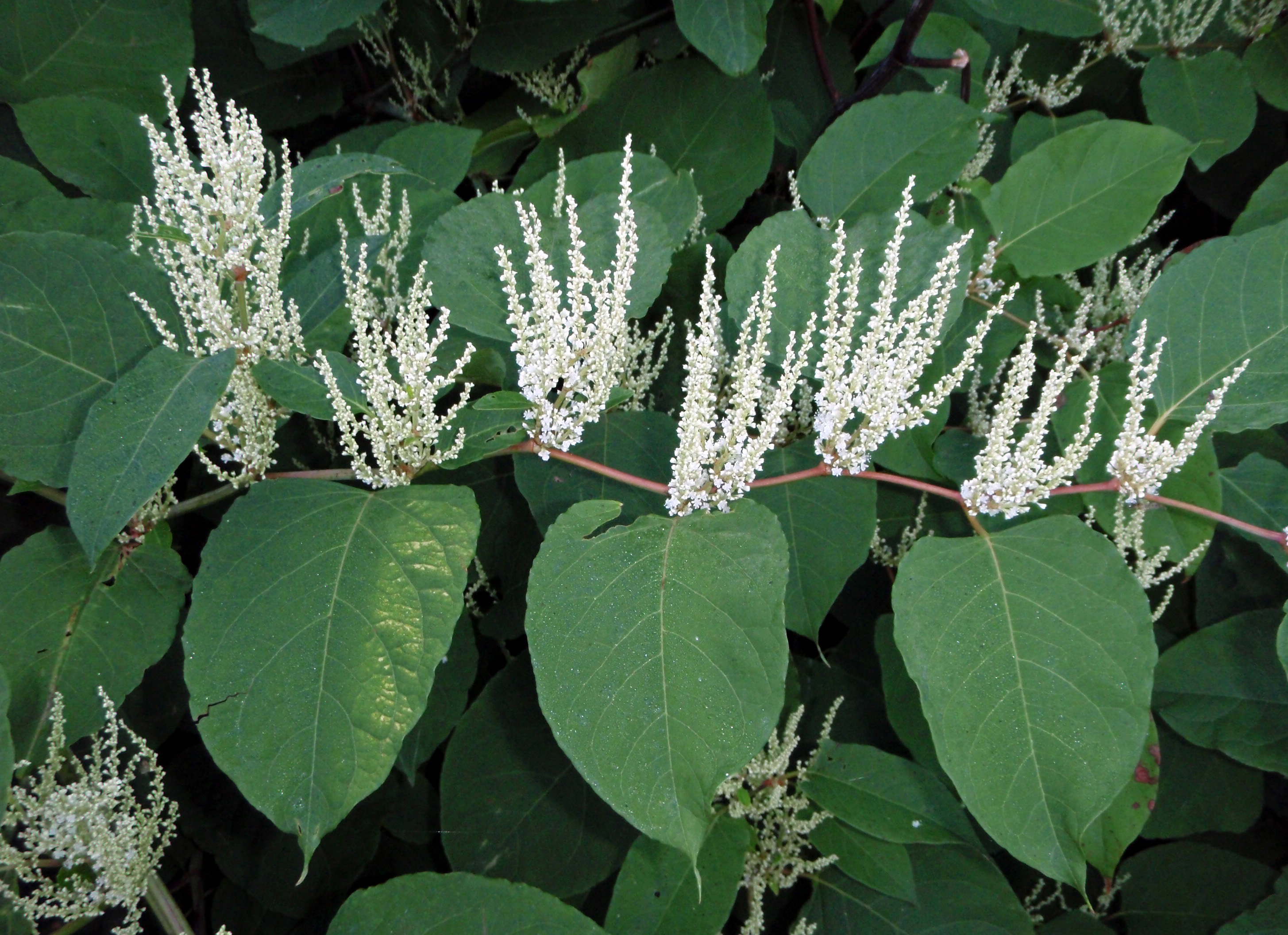 Japanese knotweed in bloom.JPG