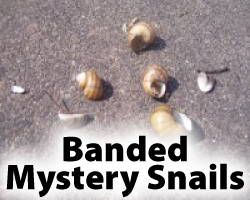 Banded Mystery Snails