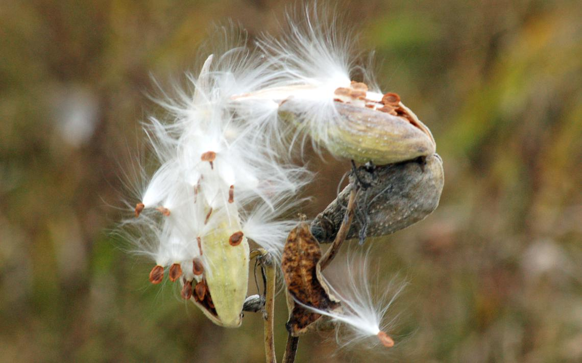 fluffy milkweed seeds spilling out of a seed pod.